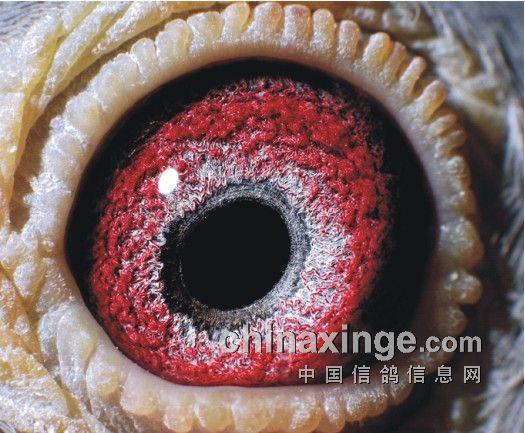 鸽眼结构,动态与遗传性(图)-中国信鸽信息网