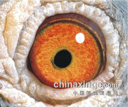 3、极端赛鸽眼-鸽眼结构 动态与遗传性