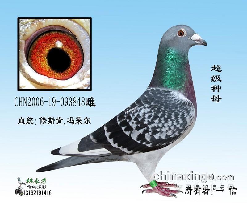 ... 养 鸽 之 一 信鸽 舍 种鸽 鸽舍 结构 草图 中国 信鸽