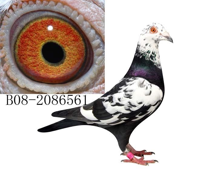 本鸽舍于2000年起棚参赛,本舍主要血统有,慕利门,克拉克,詹森老白眼.