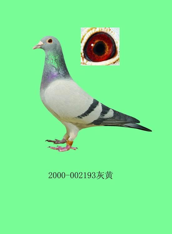 美国金字塔赛鸽