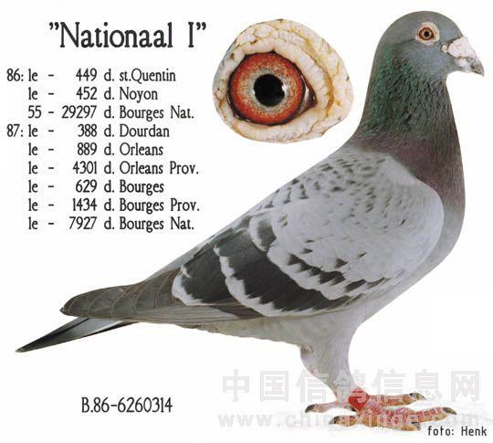汤姆 中国/本鸽舍不大,鸽子不多,但各个精良,主要有考夫曼、胡本、贝克...