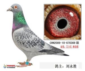 赛鸽血统只是参考,赛绩才是真理,赛鸽追求的就是种、训、养的完