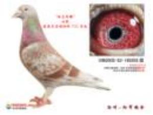 自2007年养鸽子 一来 从开始的自己瞎摸索 到后面得-冰羽红狐鸽舍图片