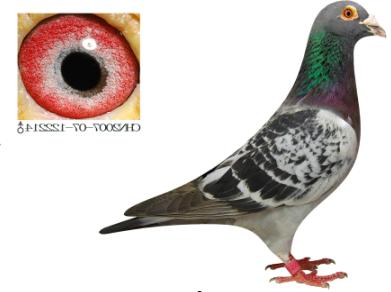 ... 赛鸽图片_桑杰士信鸽图片_桑杰士种鸽-泡手机图片